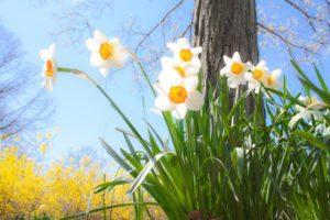 daffodils-684225_960_720